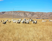 The Picture of the Grassland at Qinghai Lake