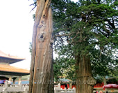 The Trees in Confucian Temple
