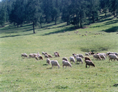 The Sheep on the Grassland